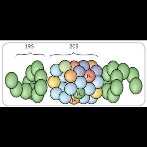20S Proteasome, rat RBC
