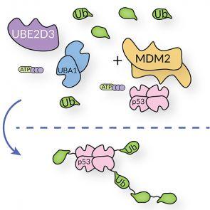 UBE2D3, human recombinant