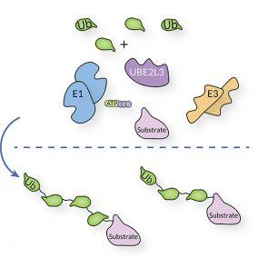 UBE2L3, human recombinant
