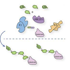 UBE2D1, human recombinant