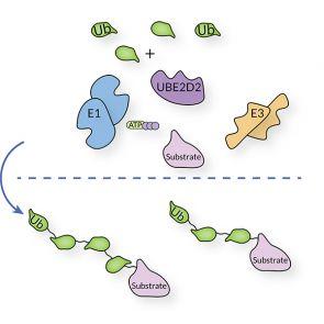 UBE2D2, human recombinant