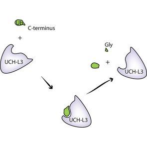 UCHL3, human recombinant