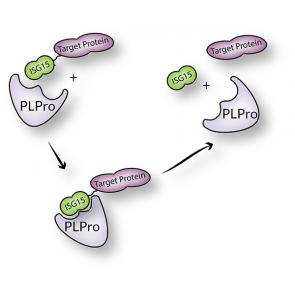 His6-SARS-CoV (PLpro), SARS Coronavirus recombinant