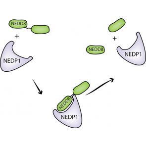 His6-NEDP1, human recombinant