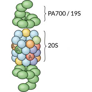 20S Proteasome, human RBC