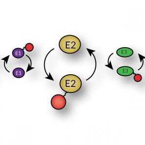 His6-UBE2K, human recombinant